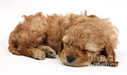 Sleeping Baby Animal Framed Prints - Cockapoo Pup Sleeping Framed Print by Mark Taylor