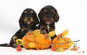 Cross Breed Prints - Cockapoo Puppies With Pumpkins Print by Mark Taylor