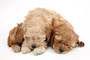 Sleeping Baby Animal Posters - Cockapoo Pups Sleeping Poster by Mark Taylor