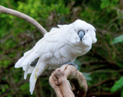 Cockatoo Originals - Cockatoo by Jerry Weinstein