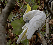 Preening Prints - Cockatoo Print by Odd Jeppesen