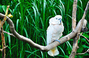 White Cockatoo Prints - Cockatoo on Display Print by Gene Sherrill