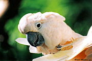 Cockatoo Metal Prints - Cockatoo Parrot Metal Print by Ralph Martens