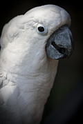 White Cockatoo Photos - Cockatoo by Zoe Ferrie