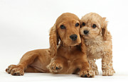 Cross Breed Photos - Cocker Spaniel & Cavapoo by Mark Taylor