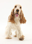Panting Dog Prints - Cocker Spaniel Print by Mark Taylor