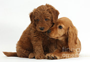Goldendoodle Prints - Cocker Spaniel Puppy And Goldendoodle Print by Mark Taylor