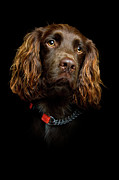 Pet Collar Posters - Cocker Spaniel Puppy Poster by Andrew Davies
