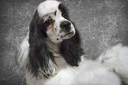 Spaniel Framed Prints - Cocker Spaniel Framed Print by Rebecca Cozart