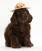 Dog Clothes Posters - Cocker Spaniel Wearing A Hat Poster by Mark Taylor