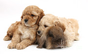 Sleeping Puppies Posters - Cockerpoo Puppies And Rabbit Poster by Mark Taylor