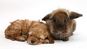 Sleeping Baby Animal Framed Prints - Cockerpoo Puppy And Rabbit Framed Print by Mark Taylor