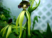 Wildlife And Nature Photos Art - Cockleshell Orchid - Prosthechea cochleata - Floral Detail Full by Kevin Feeley