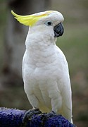 White Cockatoo Prints - Cocky-too Print by DigiArt Diaries by Vicky Browning