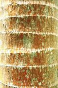 Brandon Tabiolo Photos - Coconut Palm Bark 2 by Brandon Tabiolo - Printscapes