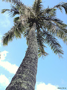 Coconut Palm Tree Prints - Coconut Palm  Print by Cheryl Young