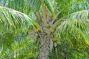 Coconut Palm Tree Posters - Coconut Palm Poster by David Lee Thompson
