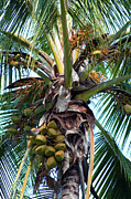 Coconut Palm Tree Prints - Coconut Palm Inflorescence Print by Karon Melillo DeVega