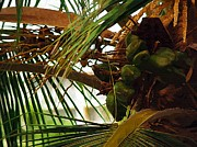 Tropical Photographs Originals - Coconut Palm by Karen Devonne Douglas