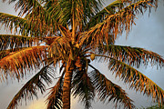 Coconut Palm Tree Posters - Coconut tree Poster by Pierre Leclerc