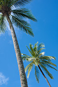 Sea View Photo Prints - Coconuts  Print by Atiketta Sangasaeng