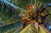 Coconut Trees Posters - Coconuts growing on a palm tree Poster by Sami Sarkis
