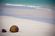 Polynesian Connection Metal Prints - Coconuts on the beach Metal Print by Ralf Kaiser