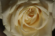 Cream Rose Framed Prints - Coffee And Cream 3 Framed Print by Carol Lynch