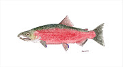 Salmon Paintings - Coho or Silver Salmon in Spawning Colors by Thom Glace