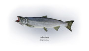 Game Drawings Prints - Coho Salmon Print by Ralph Martens