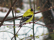 Pretty Colored Bird Photos - Cold Golden Finch by Debra     Vatalaro