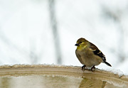 Spinus Tristis Prints - Cold Golden Yellow Finch Print by Douglas Barnett
