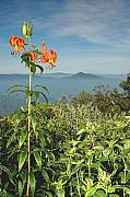 Cold Mtn. And Turk's Cap Lily Print by Alan Lenk