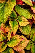 Multi-color Digital Art - Coleus by Michael Garyet