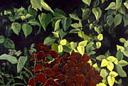 Assorted Painting Framed Prints - Coleus Framed Print by Susan  Brasch