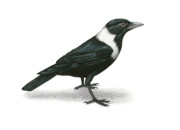 Raven Drawings Originals - Collared Crow by Lionel Portier