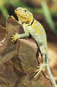 On A Rock Reptile Acrylic Prints - Collared Lizard Acrylic Print by John Pitcher