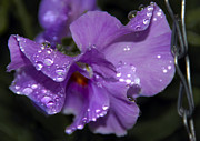 Violet Photos - Collection of Water Drops by Svetlana Sewell