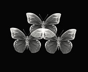 Butterfly Photographs Posters - Collection2 Poster by Lourry Legarde
