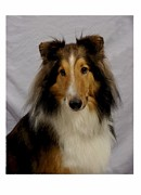 Collie Digital Art Posters - Collie 111 Poster by Larry Matthews