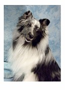 Collie Digital Art Posters - Collie 203 Poster by Larry Matthews
