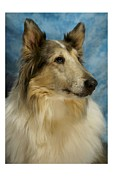 Collie Digital Art Posters - Collie 812 Poster by Larry Matthews