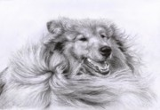 Collie Drawings Framed Prints - Collie Framed Print by Danguole Serstinskaja