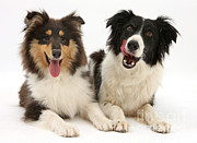 Panting Dog Prints - Collie Pals Print by Mark Taylor