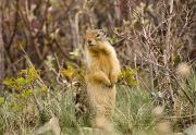 Prairie Dogs Prints - Colombian Ground Squirrel Print by Philippe Widling