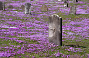 Purple Phlox Framed Prints - Colonial Tombstones Amidst Graveyard Phlox Framed Print by John Stephens