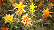 Bromeliads Photography - Color Display by Douglas Barnard