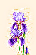 Purple. Iris. Buds Prints - Color Iris Sketch Print by Linda Phelps