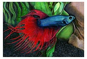Color Pencil Drawings - Color Pencil of a Siamese Fighting Fish by Debbie Engel