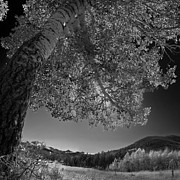 Aspen Fall Colors Photos - Colorado Aspen Black and White by Dave Dilli